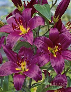 Let royalty grace your garden with the Purple Prince.Large purple (up to) diameter blooms will adorn this statuesque, wonderfully fragrant tree lily that has strong sturdy stems that do not require staking! This tree lily will generally grow the fi Amazing Flowers, Purple Flowers, Beautiful Flowers, Planting Bulbs, Planting Flowers, Tree Lily, Trumpet Lily, Purple Lily, Lily Bulbs
