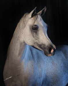 IMPERIAL BAARAAH (Imperial Baarez x Imperial Phandala) 2000 grey SE mare bred by Imperial Egyptian Stud, Maryland