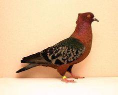 Archangel Pigeon