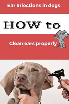 Dogs with chin pimples canine acne solutions bulldog chin acne i love my dog cleaning your dogs or cats ears canine ear infection treatments fandeluxe Choice Image