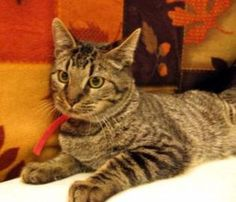 Mischief is a handsome brown tabby who is easy going and will become your friend quickly. You can meet him and all of the other cats and many, many kittens at the Oregon Humane Society.