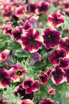 "This list of Modern Petunia Varieties is amazing like this Crazytunia ""blackberry cheesecake"""