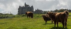 Cows and Castles.