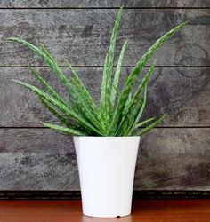 sansevieria cylindrica potted plant ikea toxic to cats so for the office only interiorz. Black Bedroom Furniture Sets. Home Design Ideas