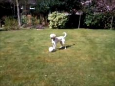 Labrador Puppy Playing Football