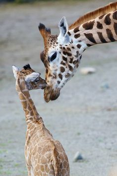 Rothschild Giraffe Calf Bonds with Mom at Dublin Zoo. Dublin Zoo in Ireland is celebrating the birth of a male Rothschild Giraffe, born on May 7. The yet unnamed calf stands tall at five feet seven inches (1.7 m) and weighs an estimated 150 pounds (70 kg). He was born to experienced parents Maeve and Robin, and joins a herd of eight giraffes at Dublin Zoo.