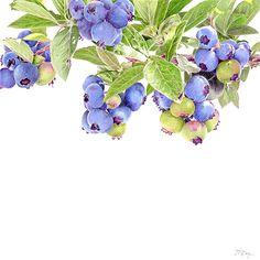 Blueberries Limited Edition Print, Original & Greeting Card by Janie Pirie - Botantical Artist