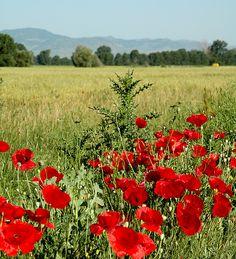 Poppy field, Korca ,Albania-fave wild flower!