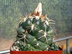 Coryphantha andreae