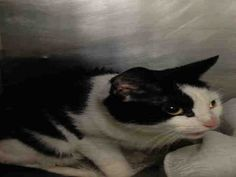 CHRISSY - A1048975 - - Manhattan ***TO BE DESTROYED 08/28/15*** PERFECTLY HEALTHY KITTEN CHRISSY WILL BE PUT TO DEATH FOR BEING AFRAID – PLEASE GRANT CHRISSY A DEATH ROW PARDON TONIGHT!! CHRISSY was dumped in the shelter system as a stray kitten. She is perfectly heatlhy and only 5 months old. The shelter staff said that she is stressed in the shelter and that is why she is acting out. Ya think?? What do you expect a scared kitten to do? CHRISSY is really a great cat