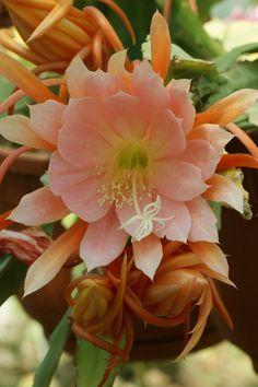 https://flic.kr/p/hH9niN | Epiphyllum maryla cornu