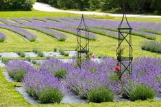 A Beautiful Lavender Farm In Wisconsin, Fragrant Isle Is Serene And Stunning Lavender Uses, Lavender Garden, Lavender Fields, Towns In Wisconsin, Washington Island, Flower Farm, Farm Life, Garden Inspiration, Garden Design