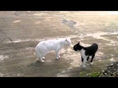 Cobra Cat - FULL LENGTH - Funny Cat Fight - http://www.kittytalent.com/2014/11/cobra-cat-full-length-funny-cat-fight/