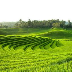 Jatiluwih rice terraces in Bali Landscape Design, Garden Design, Rice Paddy, Rice Terraces, Four Seasons Hotel, Farm Gardens, Ubud, Beautiful World, Fields