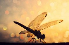 """Dragonfly....well anyone who knows me knows that this is my """"thing"""" .. my good luck charm ... my symbol that all is well ... my inspiration for colors and the feelings i want expressed in my style"""
