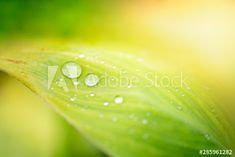 Closeup nature view of rain drop on green leaf in garden with copy space using as background natural green plants landscape, ecology, fresh wallpaper concept. - Buy this stock photo and explore similar images at Adobe Stock Green Leaf Background, Nature View, Rain Drops, Green Plants, Ecology, Green Leaves, Close Up, Greenery, Adobe