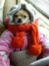 Just a dog with a jacket and scarf lol