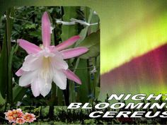 Night  Blooming  Cereus by Gyula Dio  via slideshare