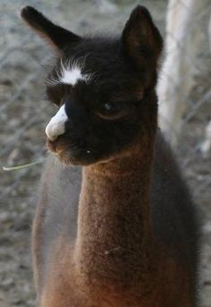TreeHugger has featured alpaca mittens, and alpaca pillows, but what is an alpaca? Why should you care? Is the alpaca the sheep for the green millennium?  I take a quick peak behind the scenes and find a surprising mix of possibilities, dangerous