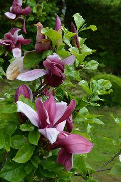 k nigs magnolie blue opal laubgeh lze plants wishlist pinterest geplant pflanzen und blumen. Black Bedroom Furniture Sets. Home Design Ideas
