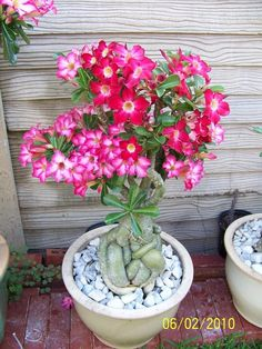 DESERT ROST-ADENIUM OBESUM  This is 4 years old with graft. Pink and red.
