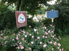 Ramblin' with AM: Roses in bloom at Confluence Park by the Chenango Canal historical marker
