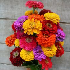 """Grow Heirloom Zinnias - Plant California Giants Zinnia SeedsDeveloped in 1926, Heirloom California Giant Zinnias produce stems as tall as 4 feet with huge 5"""" blooms, making this variety ideal for cut flowers! The shape of the flower is a bit more open than the Dahlia Flowered variety, with petals rounded on the end.Easy to grow, Zinnias look wonderful when planted """"en masse"""". Plant Zinnia California Giant flower seeds in full sun, in beds and borders for a bright and colorful garden. And…"""