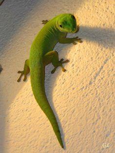 il geco verde