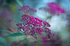 Spiraea japonica by Magda Wasiczek on 500px