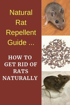 21 Easy and Inexpensive Home Remedies to Get Rid of Rats, Mice, and Similar Rodents