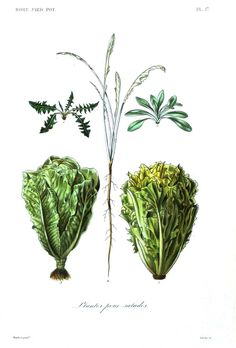 Botanical - Vegetables 7 - Lettuces