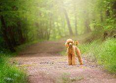 Edyn 5.5 month old red standard poodle