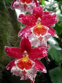 These are sooo pretty! Caring for Oncidium orchids Unusual Flowers, Rare Flowers, Amazing Flowers, Beautiful Flowers, Beautiful Gorgeous, Beautiful Things, Tropical Flowers, Colorful Flowers, Flowers Nature