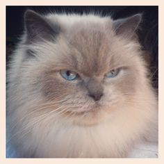 My Alex - Himalayan cat