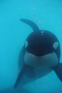 """Captive Orca Freya Has Died At Marineland Antibes, France. Stolen from her family at 1 yr old in 1982, she lived 32 years as a captive slave for human entertainment. She suffered 4 stillbirths because the jacka**es in France couldn't get the message that her calves kept dying. Had she been left alone in the wild, she most likely could have lived to be 80. Sickening that this is what some people find """"entertaining""""."""