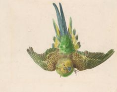 Parakeet in flight - before 1888, Edward Lear.