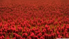 Beautiful Flower Tulip Desktop Wallpaper HD 7 High Resolution Wallpaper Full Size