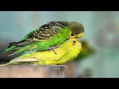 Budgies Parrot Breeding Season has been started and they start occupying boxes and mating. Budgies Parrot, Parakeets, Australian Parrots, Cute Birds, Bird Cage, Funny Photos, Your Dog, Seasons, Budgies