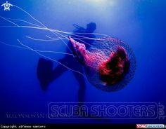 Jellyfish / Medusa  in Mongerbino - palermo - Italy