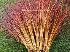 Bundles of 3'-4' glorious orange flame willow ready for shipping from The Branch Ranch.