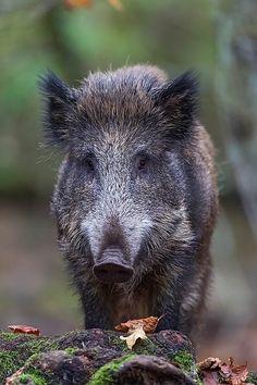 Great Wildschweinfrischling im Buchenwald auf Nahrungssuche Schwarzkittel Wildsau Sus scrofa Wild