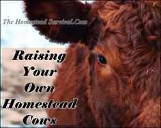 Raising Your Own Homestead Cows The Homestead Survival - Homesteading -