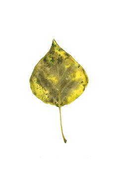 poplar leaf, watercolor olgainoue.com