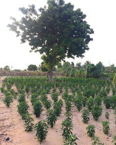 Personal piece of paradise. Sri Lanka - Eastern Province. Chilli plantations.