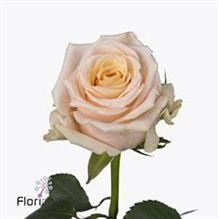 Rose cashmere