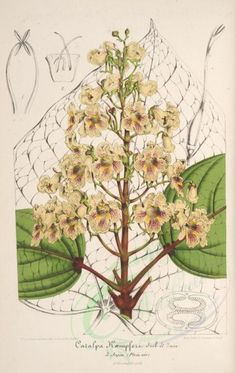 - L& horticole : - Biodiversity Heritage Library Vintage Botanical Prints, Botanical Drawings, Botanical Art, Vintage Prints, Illustration Botanique, Plant Illustration, Botanical Illustration, Flora Flowers, Flower Plants