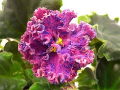 African Violet  Saintpaulia - Suncoast Fantasy Love (S. Williams) ~ I love the Suncoast series.  I had Suncoast Peppermint Kathy, a chimera that had bloomed true, but gave away.  Would like to get some again.
