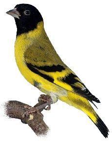 Lucherino Testa-nera Kinds Of Birds, All Birds, Bird Pictures, Horse Pictures, Exotic Birds, Colorful Birds, Pretty Birds, Beautiful Birds, Reptiles