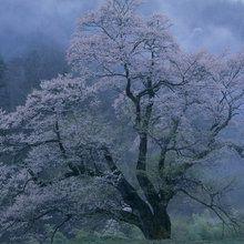 Canvastavla - Mystical Cherry Blossoms