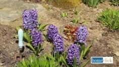 * GROWING HYACINTH *  Hyacinths are one of the most fragrant springtime flowers. Growing Dutch Hyacinth, one of many hyacinth varieties, is fairly straightforward.